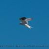 Elanus leucurus TWO white-tailed kites 2016 10-05 Yolo Bypass - 047