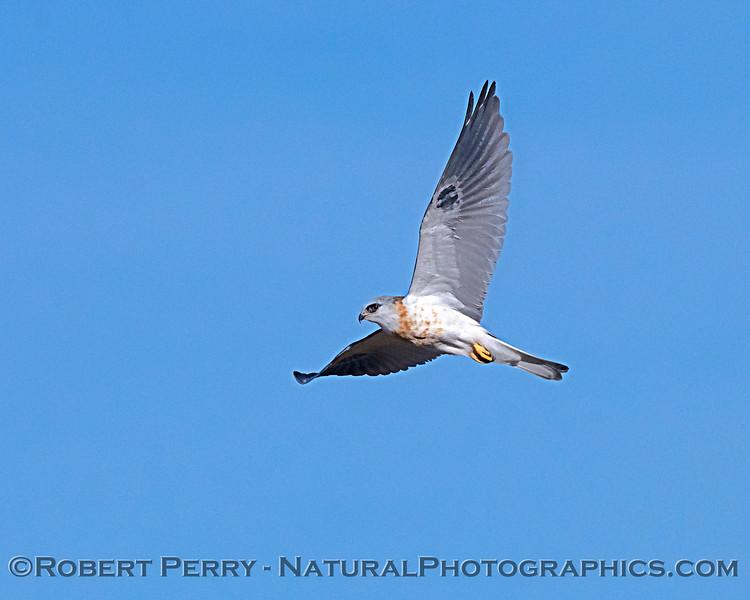 Elanus leucurus White-tailed kite in flight 2018 11-03 EDH-020