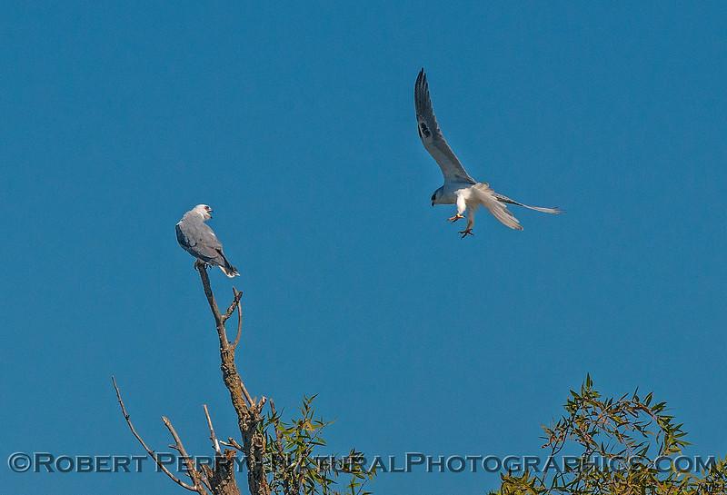 Elanus leucurus TWO white-tailed kites 2016 10-05 Yolo Bypass - 049