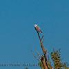 Elanus leucurus TWO white-tailed kites 2016 10-05 Yolo Bypass - 017