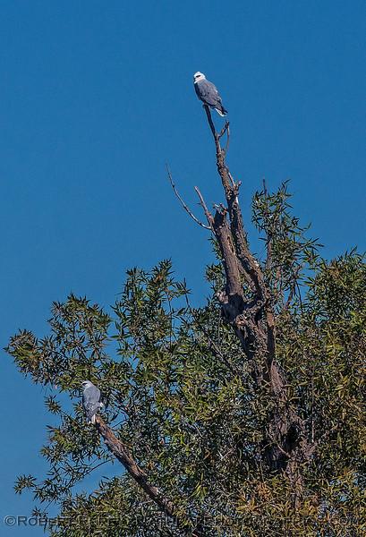 Elanus leucurus TWO white-tailed kites 2016 10-05 Yolo Bypass - 032 - vertical crop
