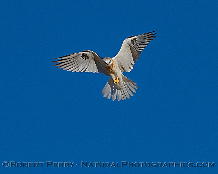 Elanus leucurus White-tailed kite in flight 2018 11-03 EDH-247