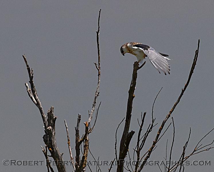 Elanus leucurus JUV atop tree 2018 06-05 Yolo County--0037