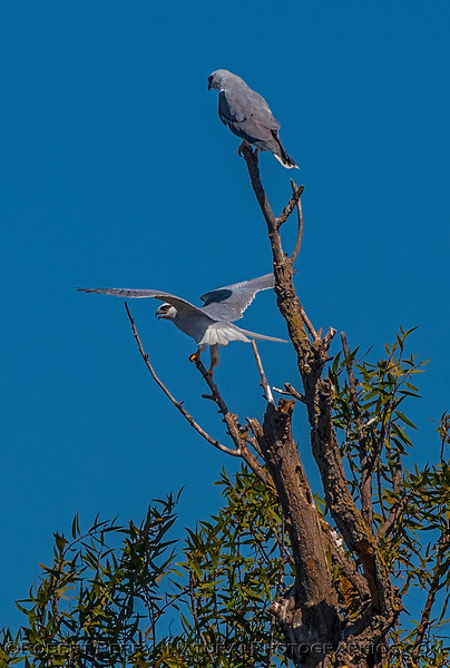 Elanus leucurus TWO white-tailed kites 2016 10-05 Yolo Bypass - 055 - vertical crop