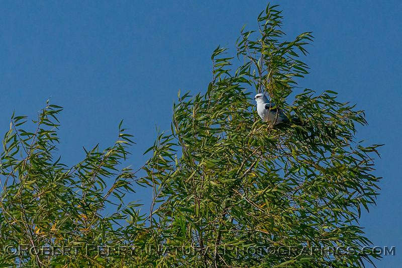 Elanus leucurus White-tailed kite 2017 10-30 Yolo ByPass-219