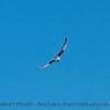 Elanus leucurus TWO white-tailed kites 2016 10-05 Yolo Bypass - 003