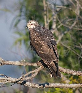 female Snail kite in tree