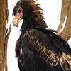 Wedge-tailed Eagle near William Creek, South Australia