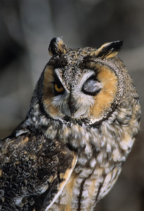 Long-eared Owl-1339
