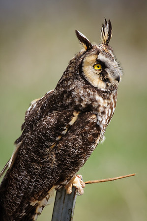 Long-eared Owl-7410