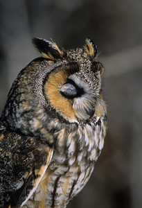 Long-eared Owl-1341