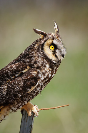 Long-eared Owl-7402