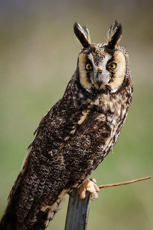 Long-eared Owl-7420