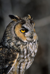 Long-eared Owl-1340