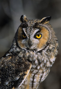 Long-eared Owl-1338
