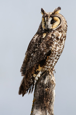 Long-eared Owl-7374