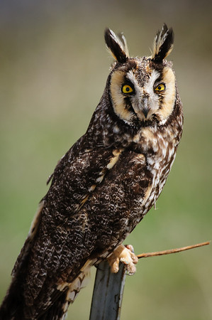 Long-eared Owl-7422