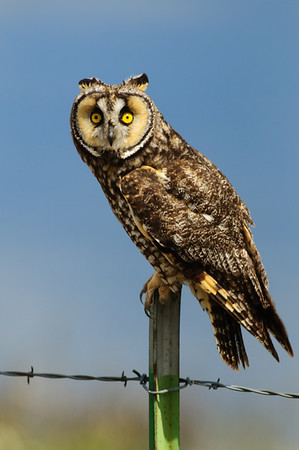 Long-eared Owl-7389