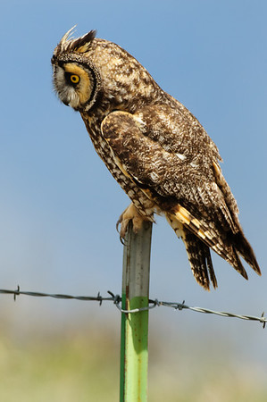 Long-eared Owl-7384