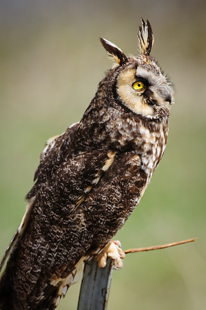 Long-eared Owl-7412