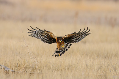 Northern Harrier-4982