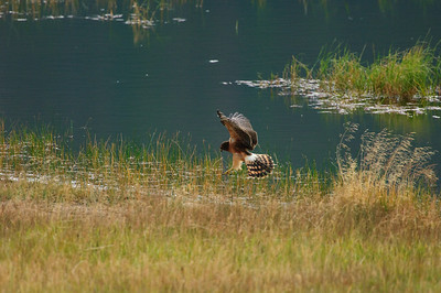 Northern Harrier-7086