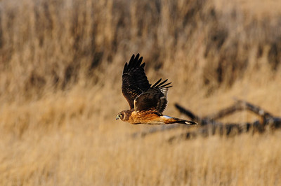 Northern Harrier-4267
