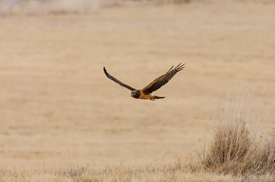 Northern Harrier-7254