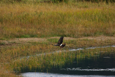Northern Harrier-1