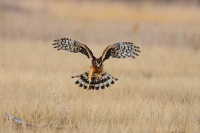 Northern Harrier-4981