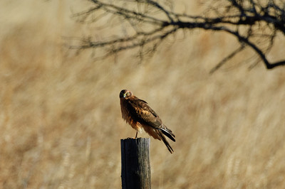 Northern Harrier-7168