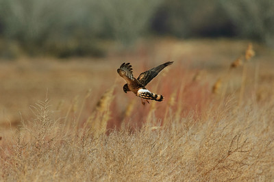 Northern Harrier-7228