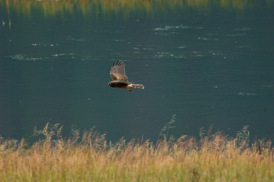 Northern Harrier-7081