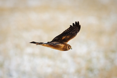Northern Harrier-7285