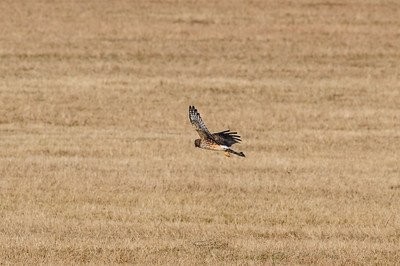 Northern Harrier-2642