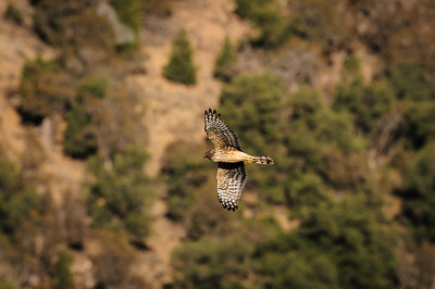 Northern Harrier-2658
