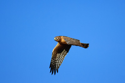 Northern Harrier-7186