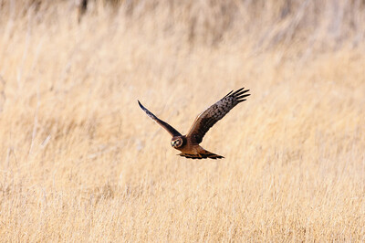 Northern Harrier-3843
