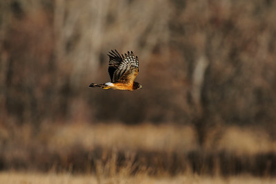Northern Harrier-4732