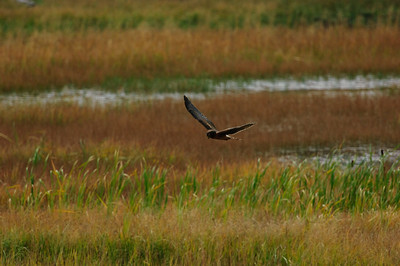 Northern Harrier-7128