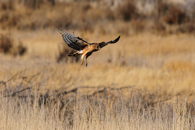 Northern Harrier-4250