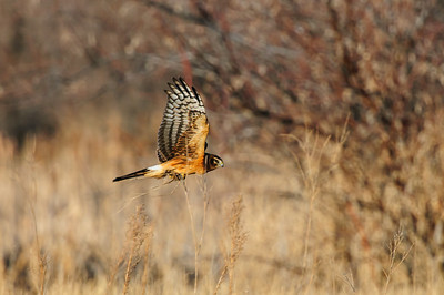 Northern Harrier-4735