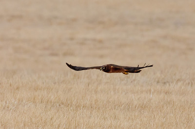 Northern Harrier-7259
