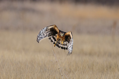 Northern Harrier-4979
