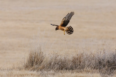 Northern Harrier-7266