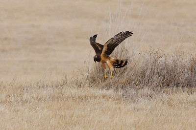 Northern Harrier-7273