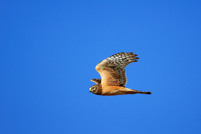 Northern Harrier-7188