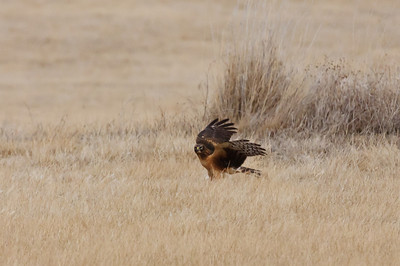 Northern Harrier-7275