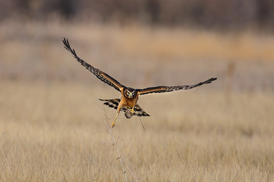 Northern Harrier-4980