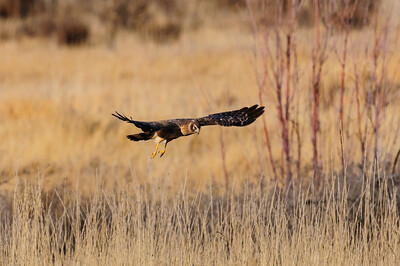 Northern Harrier-4252
